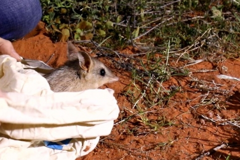 A bandicoot being released into the desert at night