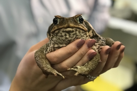 cane_toad.png