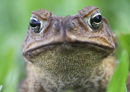 05 Cane Toad 1