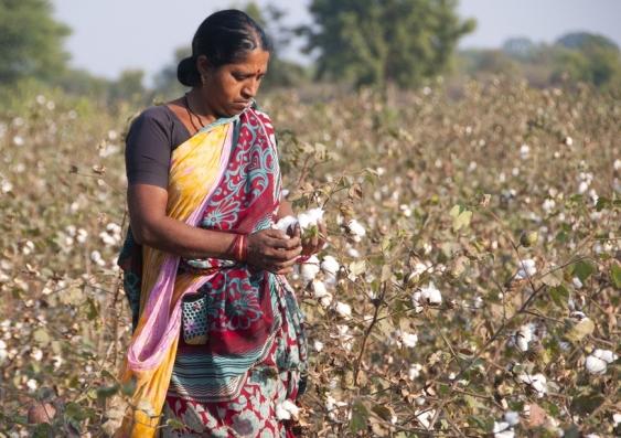 08_india_cotton_harvest_shutterstock.jpg
