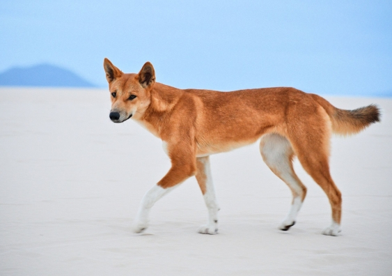 Dingo walking on sand