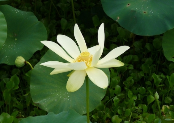 A cream flower amongst greenery