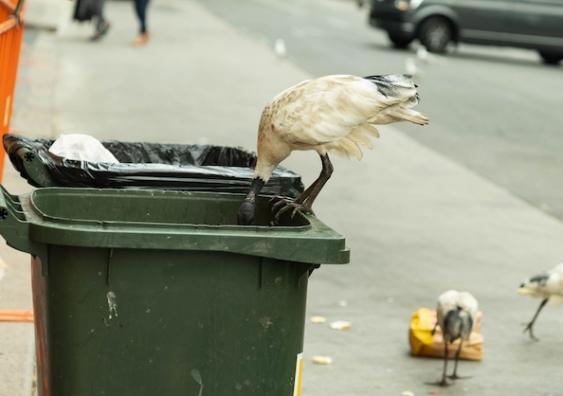 An Australian white ibis looks for food scraps in a rubbish bin
