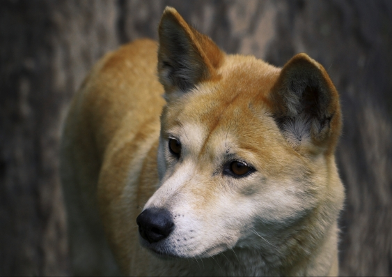 Dingoes Daniel Hunter extinction