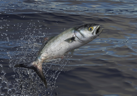 Tailor fish, also known as bluefish