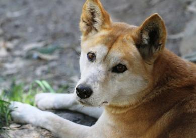1 Dingo 0