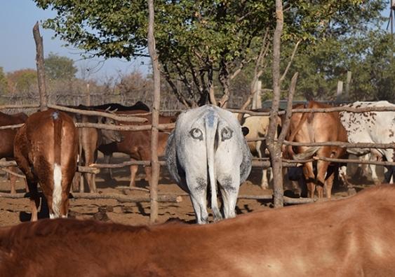 Eye-cow is watching you