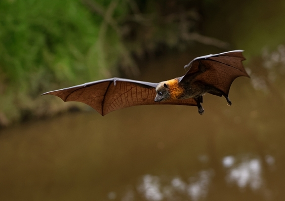 A bat or flying fox spreads its wings above a river