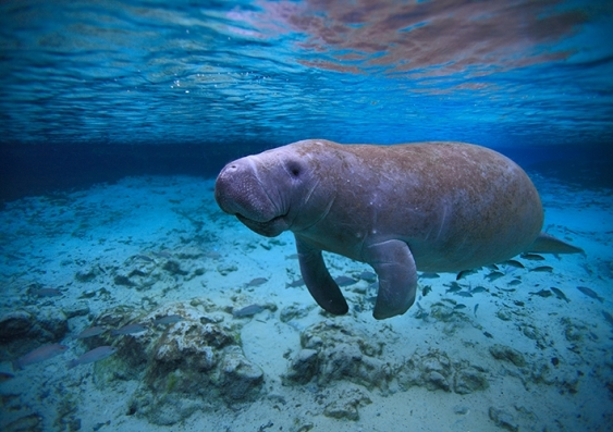 A manatee swims in the shallows of some very blue water