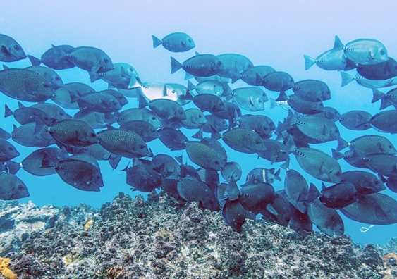 A school of surgeonfish swims over a reef