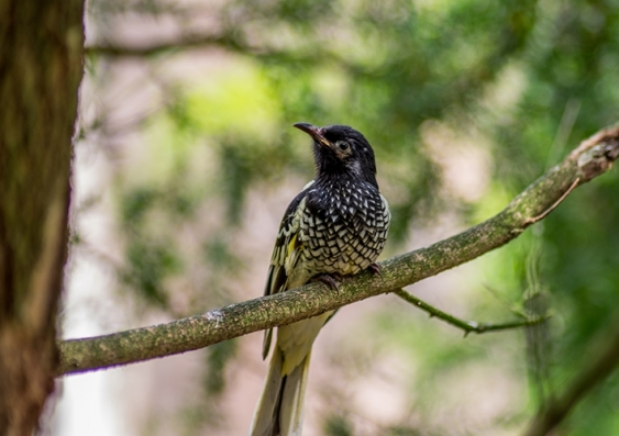 A black and white spotted bird shown sitting on a branch