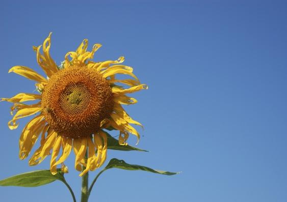 global warming sunflower