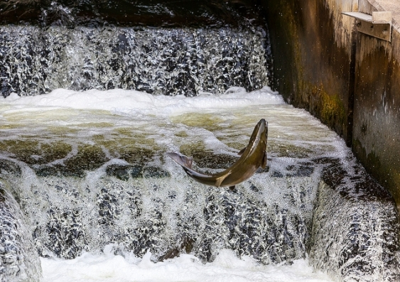 Why dams don t need to be bad news for fish unsw newsroom for Why fish is bad for you