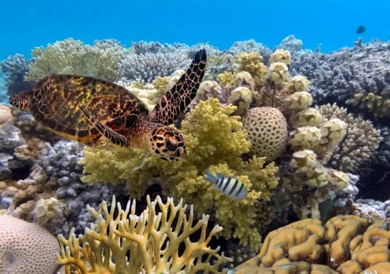 3_barrier_reef_turtle_shutterstock.jpg
