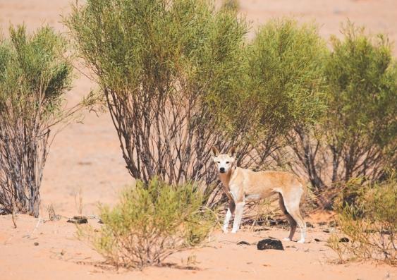 A dingo in the Strzelecki Desert