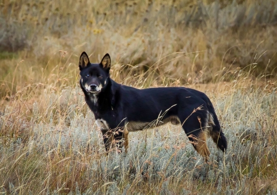 A black and tan coloured dingo