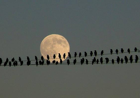 6_starlings.jpg
