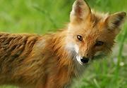 Red fox web