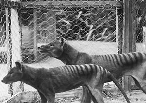 Tasmanian tiger1