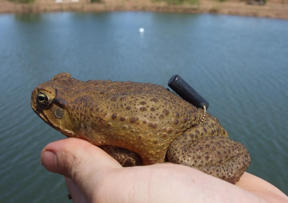 Toad with tracking device at a farm bore 1 0
