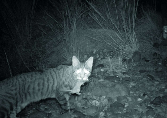 a-camera-trap-captures-feral-cat-that-has-killed-a-small-mammal-data.jpg