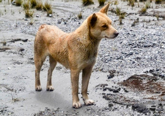 New Guinea singing dog sighted in the wild after 50 years
