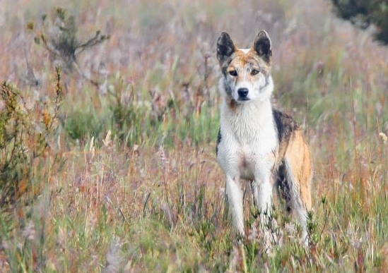 A dingo with a patchy white, black and tan coat