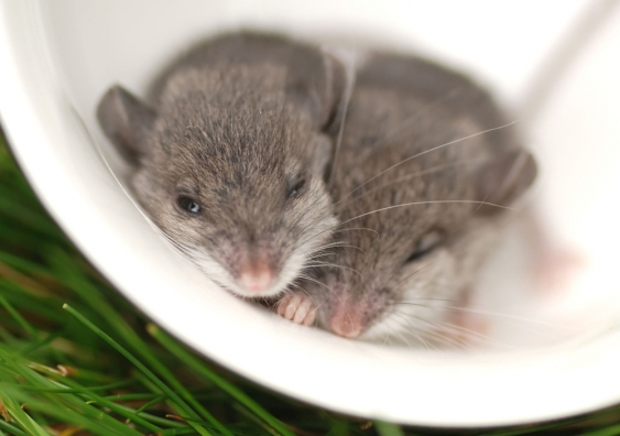 Two baby mice in a teacup