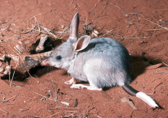 bilby_inside_large.jpg