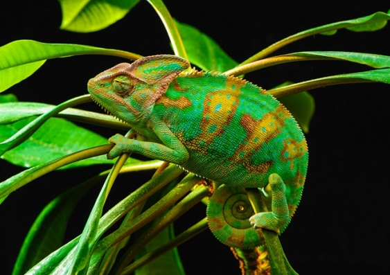 Green and yellow chameleon in camouflage