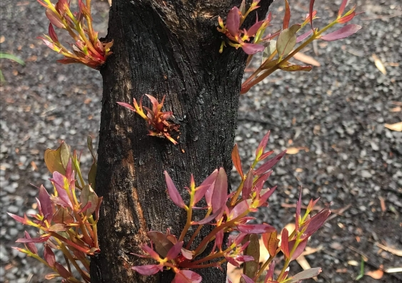 Regrowth after bushfire