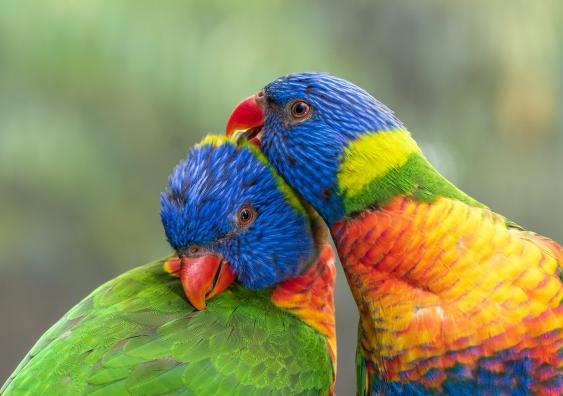 Two rainbow lorikeets nuzzling