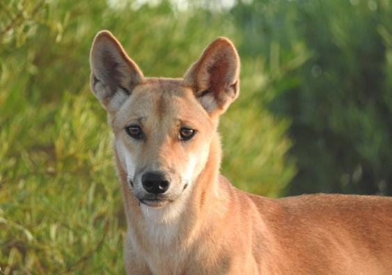 A dingo in the wild