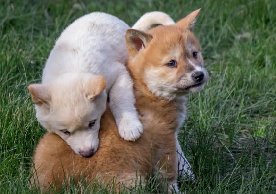 dingo_puppies.jpg