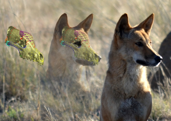 dingo_with_ct_scan_superimposed.jpg