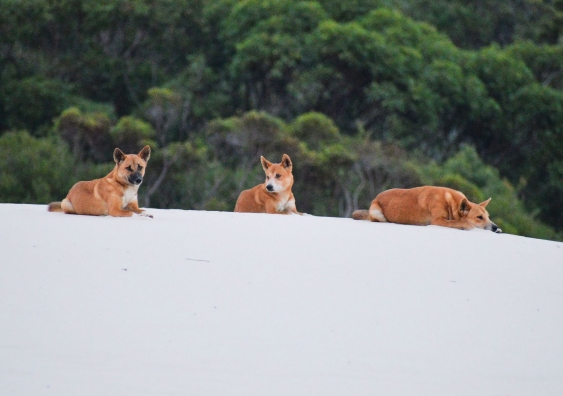Young dingoes lounging on sand