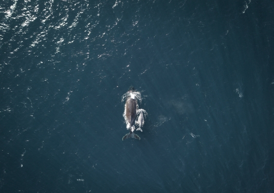 drone shot of whale and calf sydney