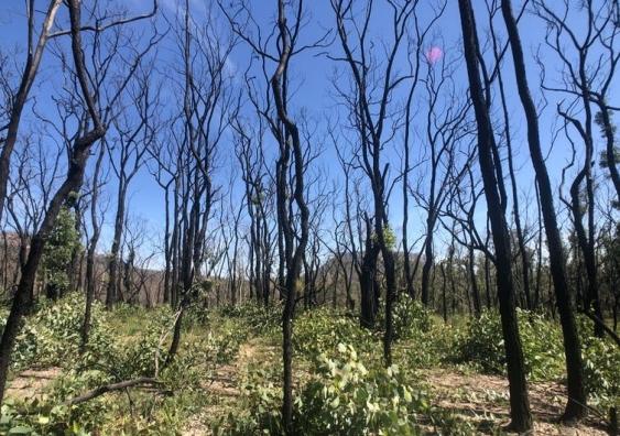 Burnt tress after bushfires