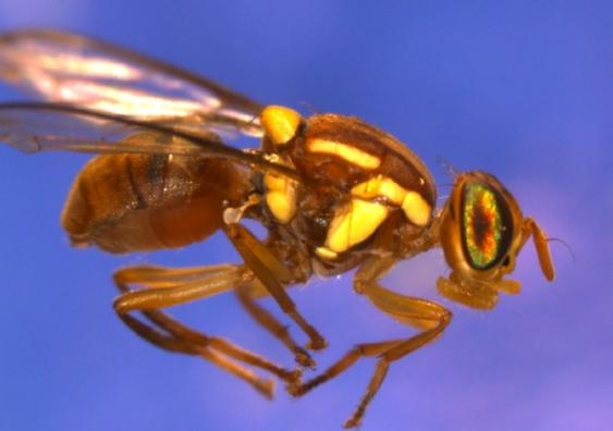 Fruitfly 1