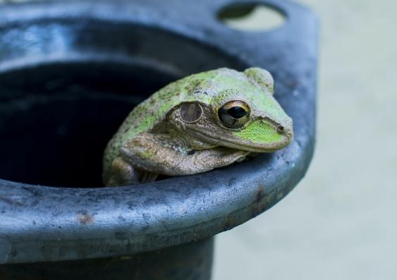 Green frog in black pot