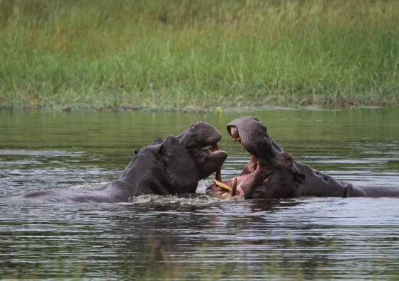 Hippos are territorial and can be aggressive