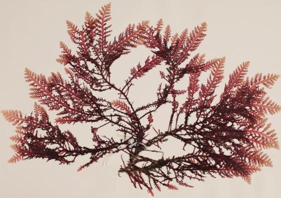 Laurencia brongniartii herbarium specimen