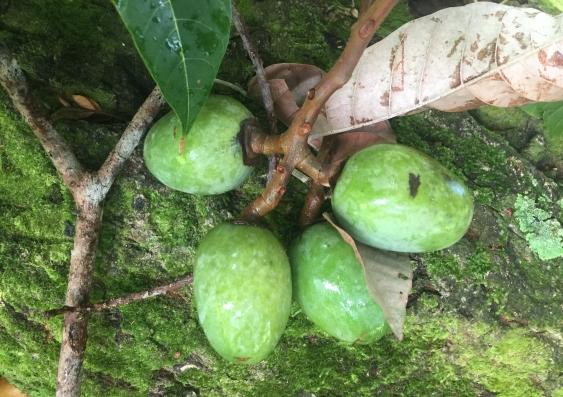 Nangai fruit on a branch against a rock
