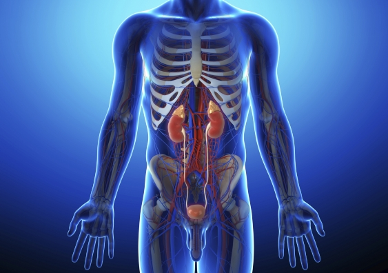 Human urinary system in gray x-ray - Istock