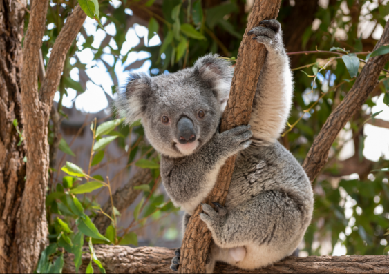 A koala sitting in a tree looking into the camera.