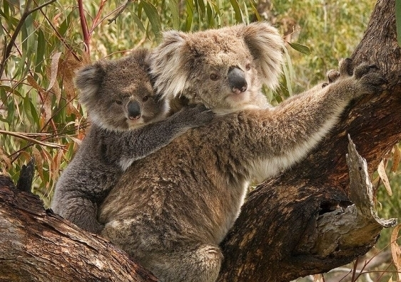 koala_4_1.jpg