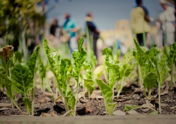 lettuce in an urban garden