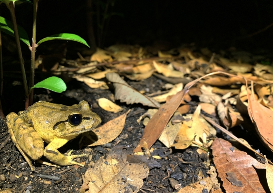 The threatened Southern Barred Frog (Mixophyes balbus)