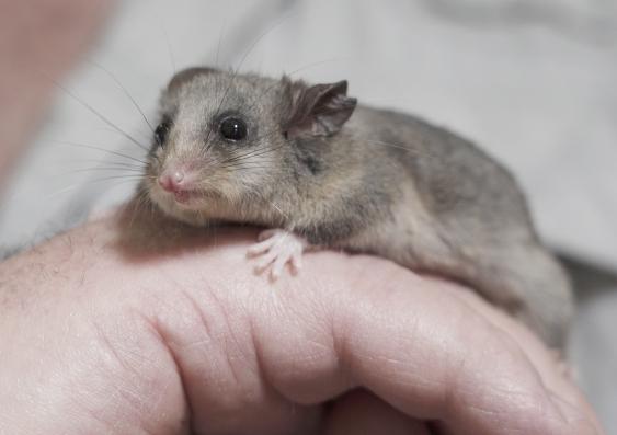 Mountain pygmy possums