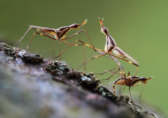 Neriidflies 1